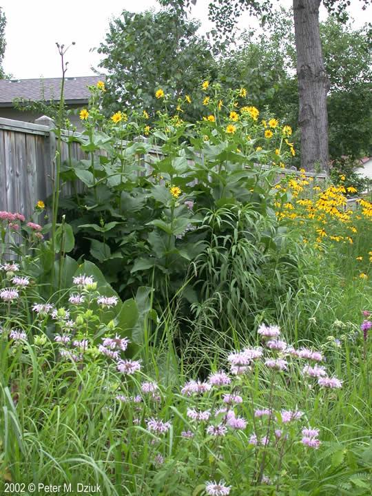 Silphium Perfoliatum Cup Plant Minnesota Wildflowers