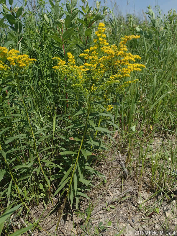 solidago-canadensis-70915-3 Where Have I Been Map on where i started, where i lived, where i to be, where i go, where i did, where i left,