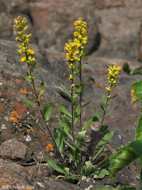 Pick A Part >> Solidago hispida (Hairy Goldenrod): Minnesota Wildflowers