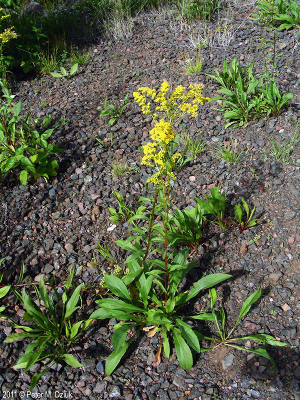 Solidago Juncea Early Goldenrod Minnesota Wildflowers