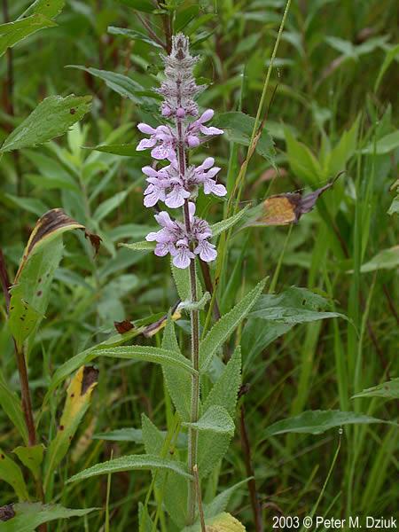 Stachys Palustris  Marsh Hedge Nettle   Minnesota Wildflowers