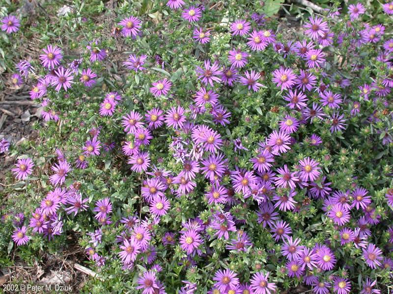 Symphyotrichum Sericeum Silky Aster Minnesota Wildflowers