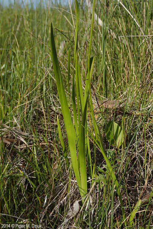 Triantha glutinosa (Sticky False Asphodel): Minnesota