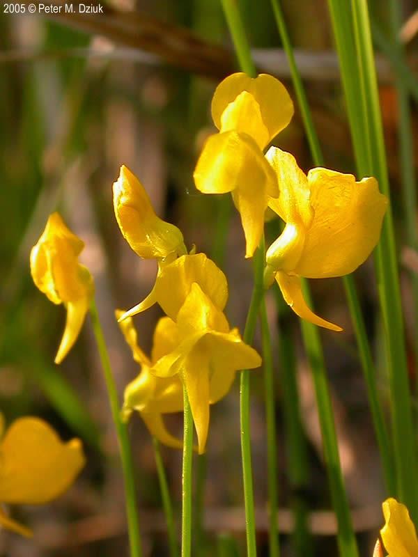 Utricularia cornuta (Horned Bladderwort): Minnesota ...