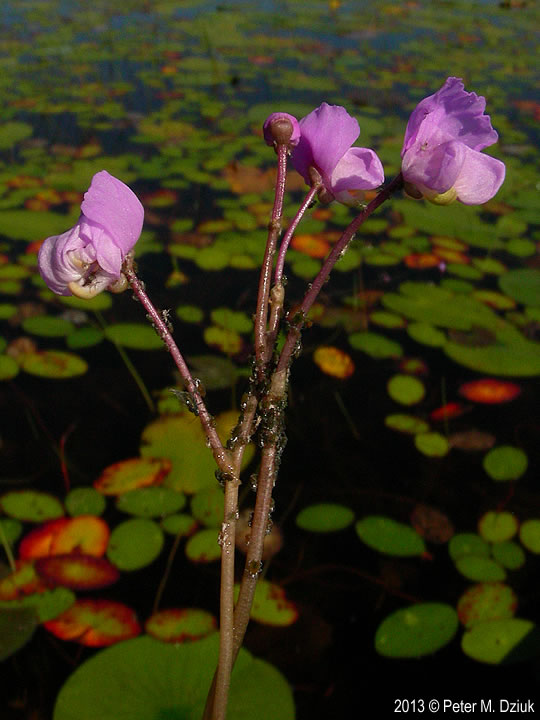 utricularia-purpurea-7980-5 Detailed Map on italy map, detail map, south korea map, standard map, indonesia map, full map, india map, interactive map, complete map, area map, places to visit map, topographic map, road map, good map, iceland land map, world map, fun map, kapingamarangi island map, fairfax alaska map, texas highway map,