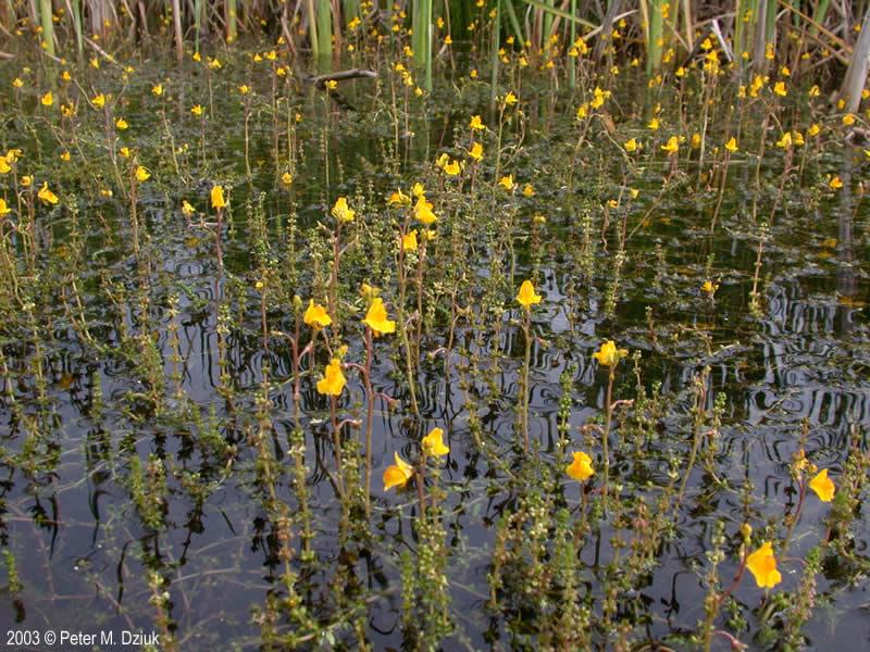 Pick A Part >> Utricularia vulgaris (Common Bladderwort): Minnesota Wildflowers