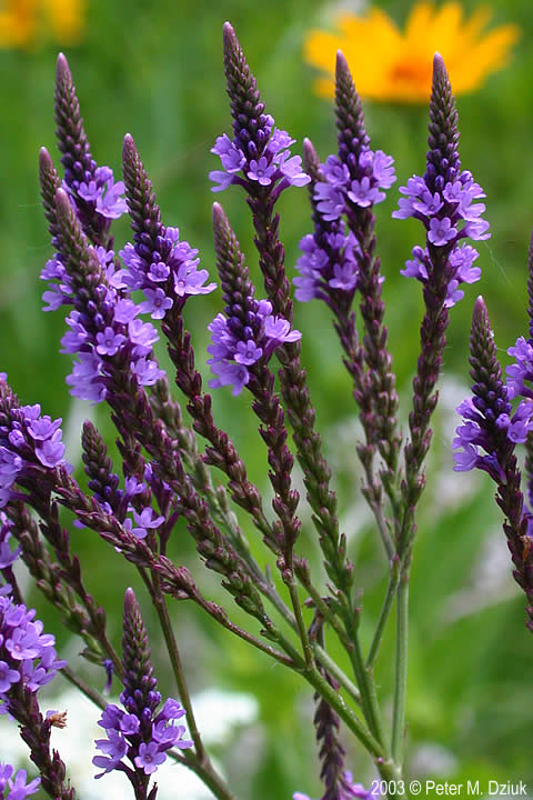 Verbena hastata (Blue Vervain): Minnesota Wildflowers