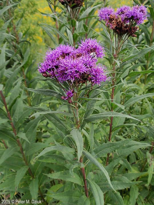 Vernonia fasciculata (Prairie Ironweed): Minnesota Wildflowers