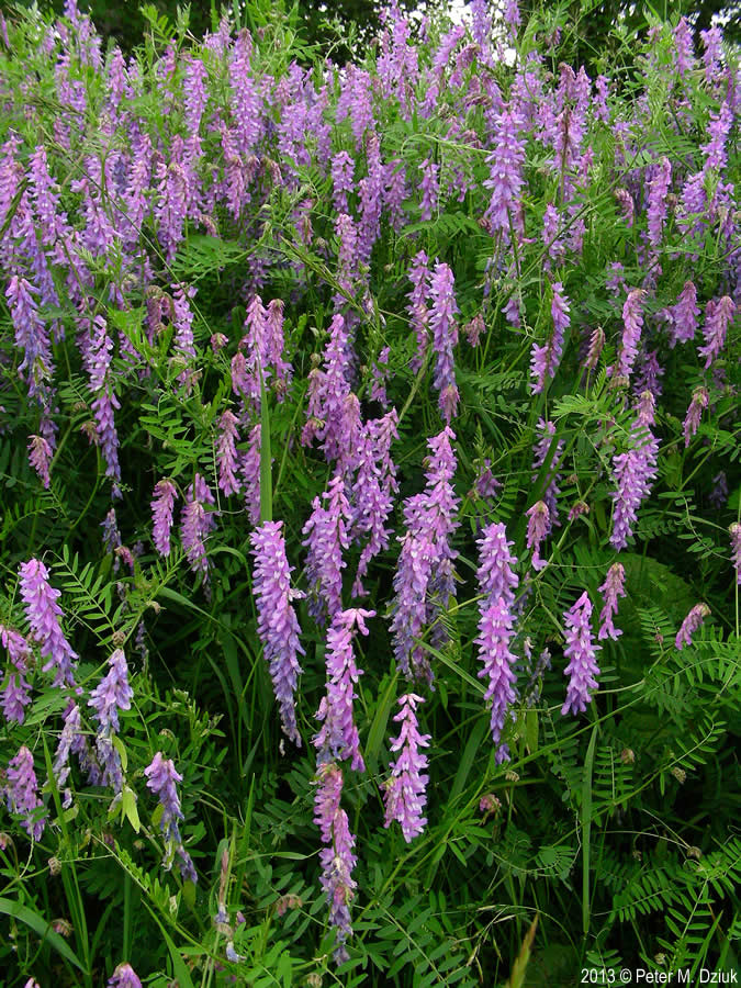 Vicia Cracca Tufted Vetch Minnesota Wildflowers