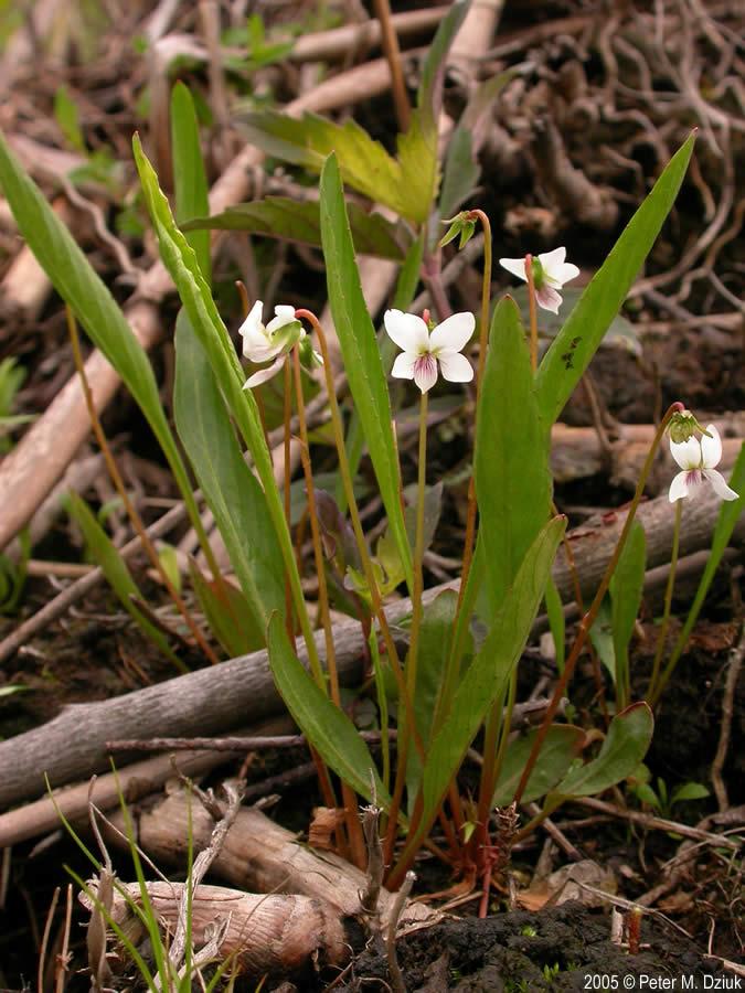 V Is For Violet Viola lanceolata (Lanc...