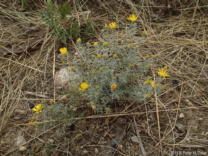Xanthisma Spinulosum Cutleaf Ironplant Minnesota