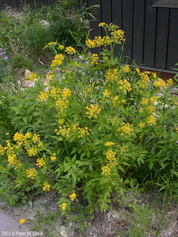 Zizia Aurea Golden Alexanders Minnesota Wildflowers