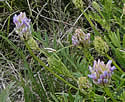 astragalus-adsurgens-11-1-t Map Of Lake Pelican Ashby Mn on map of lake miltona mn, map of mille lacs lake mn, map of kabetogama lake mn, map of pearl lake mn, map of rush lake mn, map of gull lake mn, map of rainy lake mn, map of lake winnibigoshish mn, map of lake nokomis mn, map of lake winnie mn, map of lake minnetonka mn, map of burntside lake mn, map of big marine lake mn, map of lake of the woods mn, map of woman lake mn, map of leech lake mn, map of clearwater lake mn, map of gunflint lake mn, map of big birch lake mn, map of sugar lake mn,