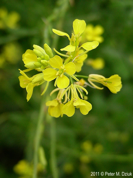 Brassica nigra black mustard minnesota wildflowers photo of flowers mightylinksfo