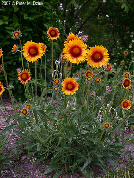 Gaillardia aristata blanketflower minnesota wildflowers blanketflower plant blanketflower in open prairie garden grown blanketflower mightylinksfo