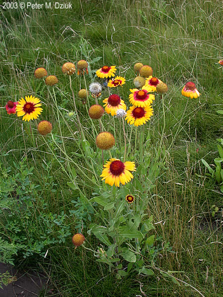 Gaillardia Aristata Blanketflower Minnesota Wildflowers