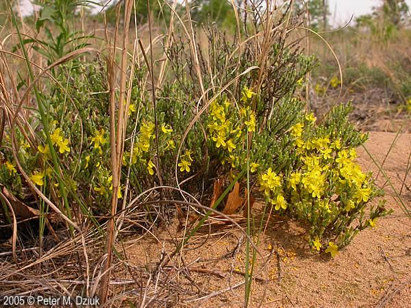 Hudsonia Tomentosa Beach Heather Minnesota Wildflowers
