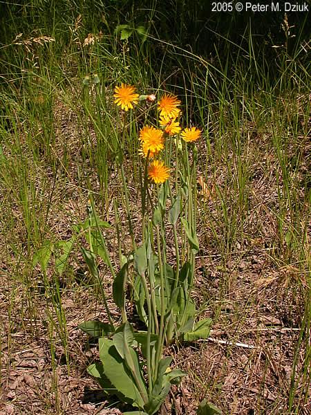 Krigia Biflora Two Flowered Cynthia Minnesota Wildflowers