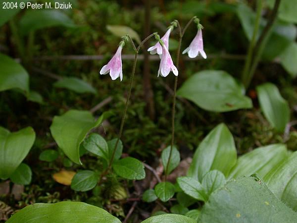 linnaea borealis twinflower minnesota wildflowers