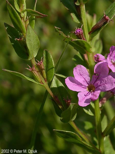 lythrum alatum  winged loosestrife   minnesota wildflowers