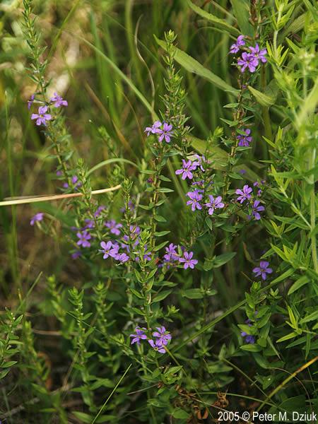 Lythrum alatum (Winged Loosestrife): Minnesota Wildflowers