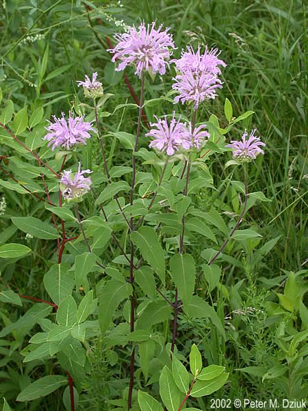 Monarda fistulosa (Wild Bergamot): Minnesota Wildflowers