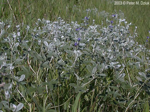 Pediomelum argophyllum silverleaf scurfpea minnesota for Silverleaf com