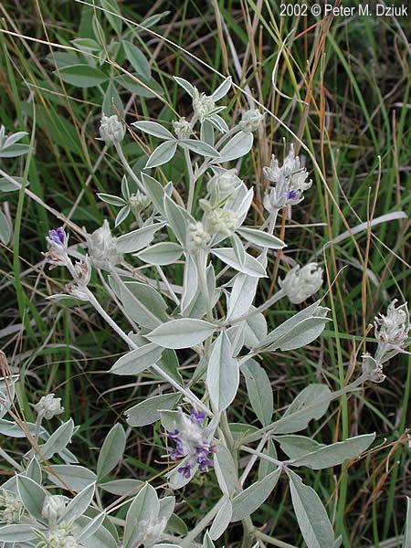 Pediomelum argophyllum...