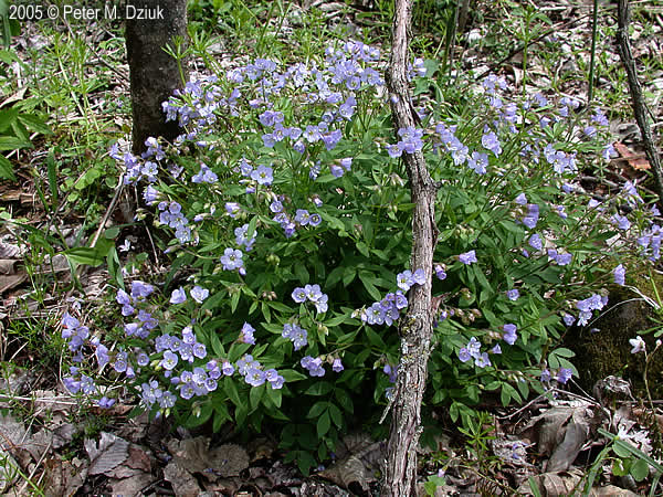 Polemonium Reptans Spreading Jacob 39 S Ladder Minnesota