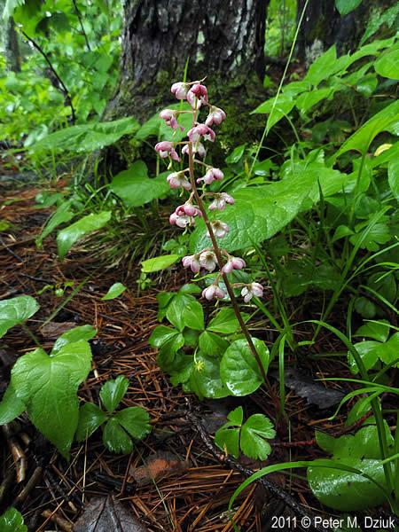 Pyrola asarifolia (Pink Pyrola): Minnesota Wildflowers