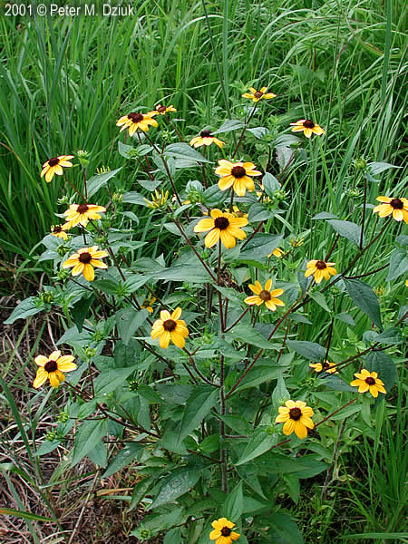 midwest map with Brown Eyed Susan on Edward in addition Amsterdam Brochure further Tiger Lily additionally 2048436143 moreover 6284869880.