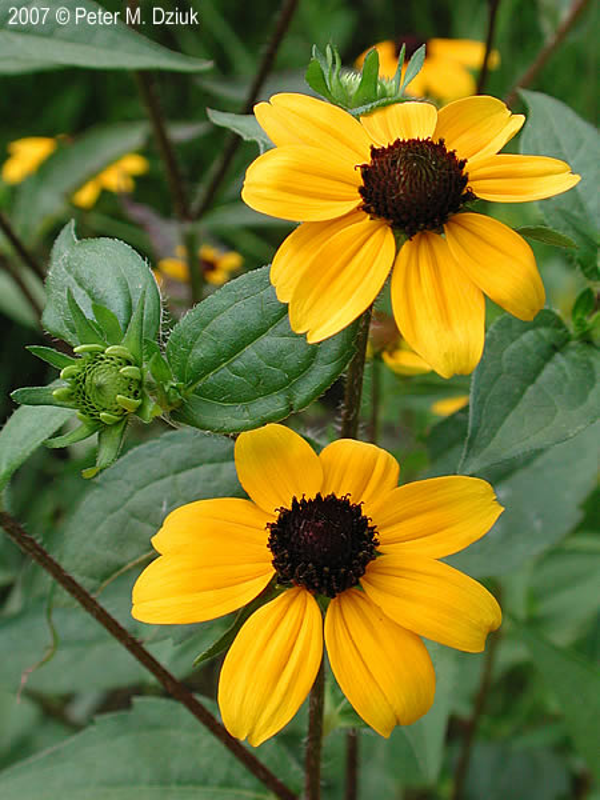 Rudbeckia triloba brown eyed susan minnesota wildflowers flowers are deep golden yellow mightylinksfo