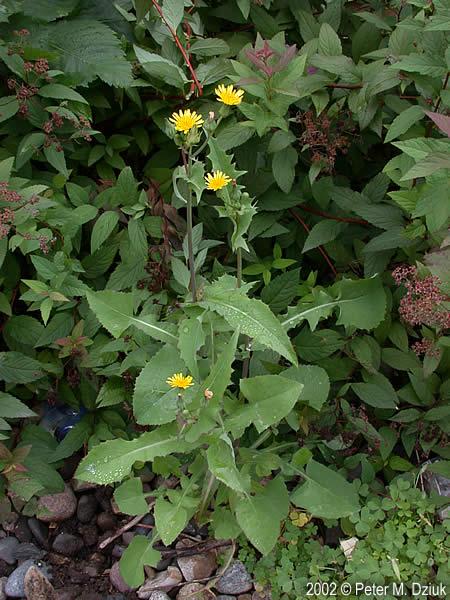 Sonchus Oleraceus Common Sowthistle Minnesota Wildflowers