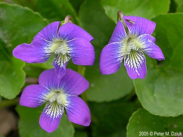 Viola Sororia Common Blue Violet Minnesota Wildflowers