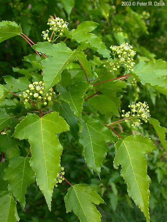Acer Ginnala Amur Maple Minnesota Wildflowers