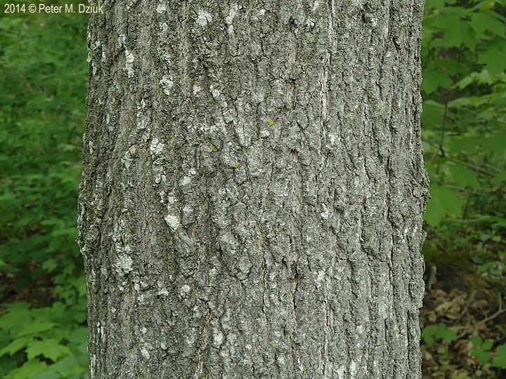 Acer Nigrum Black Maple Minnesota Wildflowers