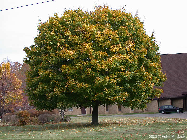 Acer Platanoides Norway Maple Minnesota Wildflowers