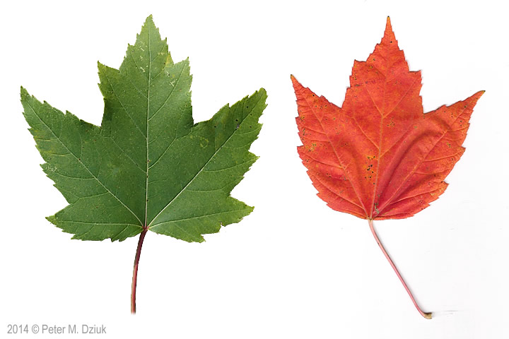 Acer Rubrum Red Maple Minnesota Wildflowers