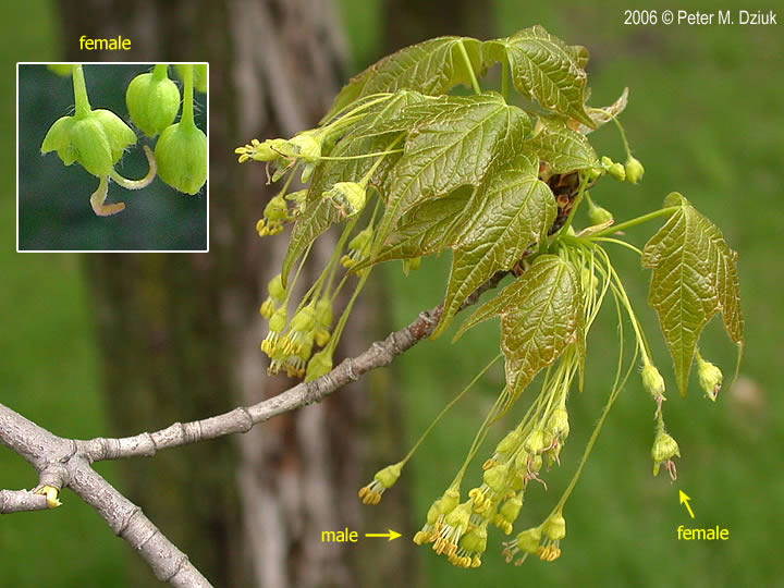 Acer Saccharum Sugar Maple Minnesota Wildflowers
