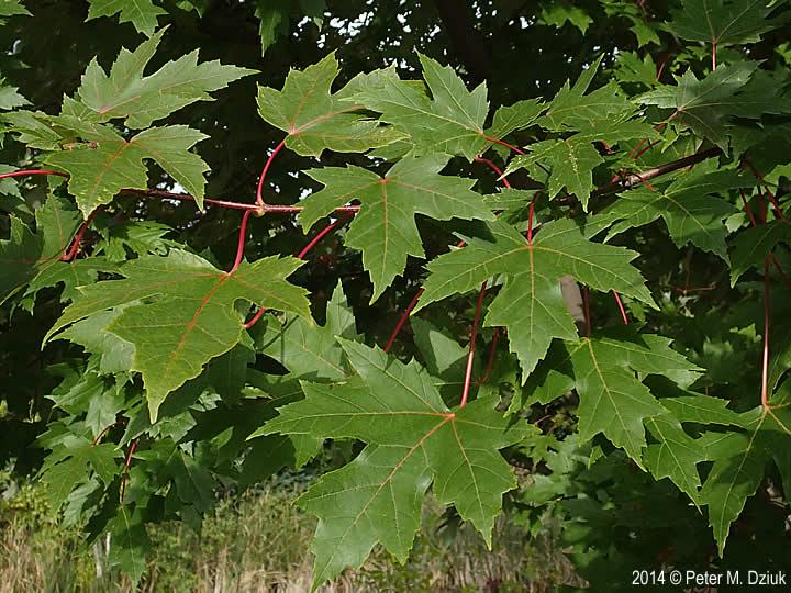 Acer X Freemanii Freeman Maple Minnesota Wildflowers