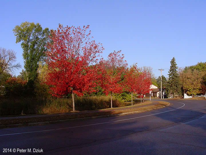 Acer X freemanii (Freeman Maple): Minnesota Wildflowers