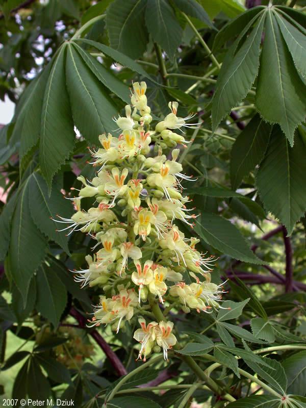 Aesculus Glabra Ohio Buckeye Minnesota Wildflowers