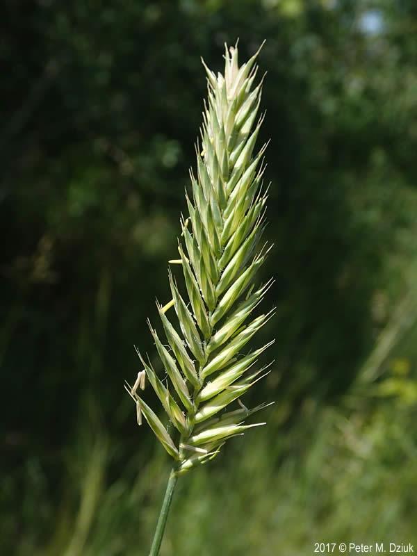 Agropyron Cristatum  Crested Wheatgrass   Minnesota