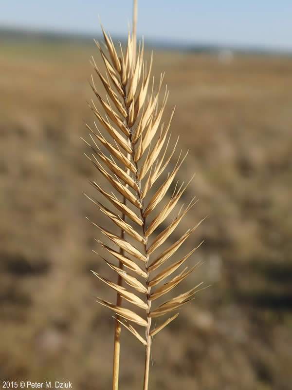 Agropyron cristatum (Crested Wheatgrass): Minnesota