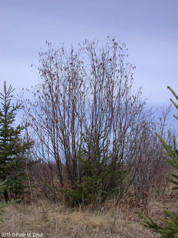 alnus incana speckled alder minnesota wildflowers