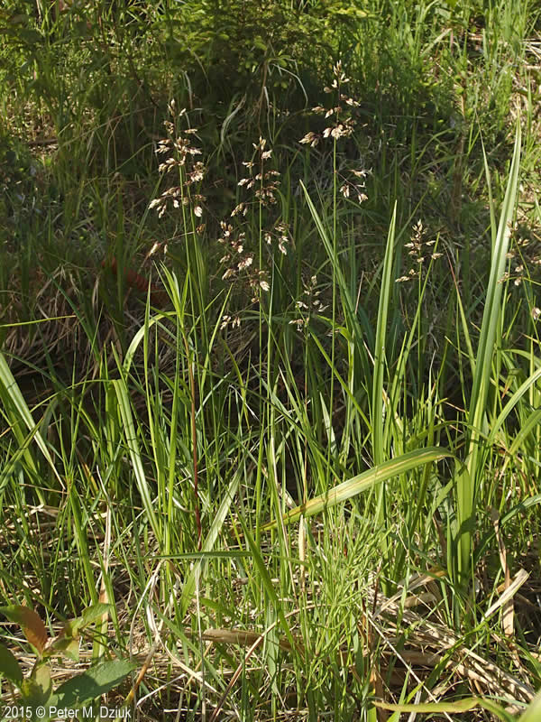 anthoxanthum hirtum  sweetgrass   minnesota wildflowers