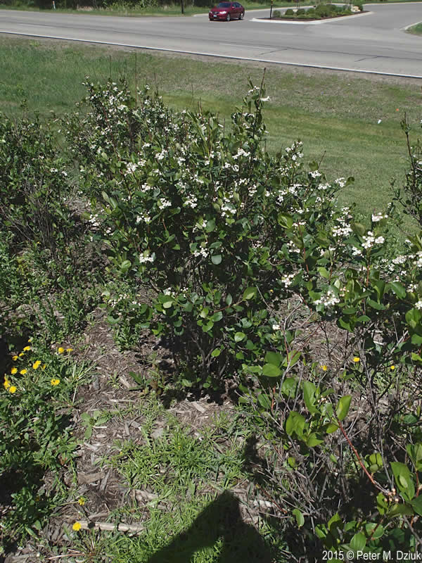 Aronia Melanocarpa Black Chokeberry Minnesota Wildflowers