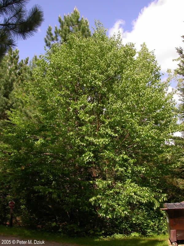 Betula Alleghaniensis Yellow Birch Minnesota Wildflowers