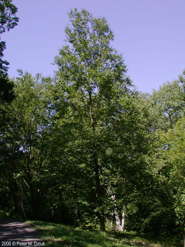 Betula Alleghaniensis Yellow Birch Minnesota Wildflowers