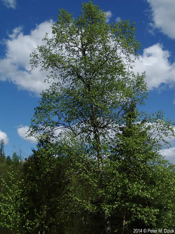 Betula Cordifolia Heart Leaved Birch Minnesota Wildflowers